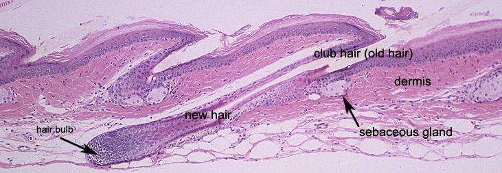 hair follicle microscope hairsjdiorg